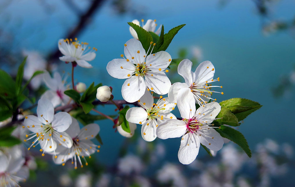 Flor del almendro, un símbolo de la cultura japonesa