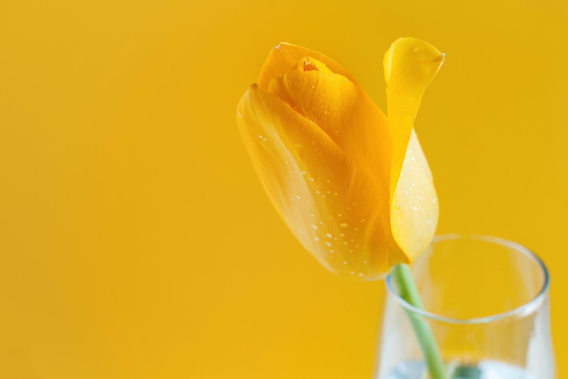 Tulipán amarillo
